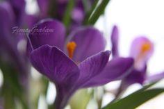 Purple Crocus  Fine Art Nature Photography  8x10 by fionagraham, $24.00