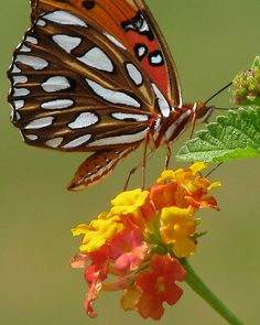 Gulf fritillary ... at the farm by Vicki's Nature, via Flickr