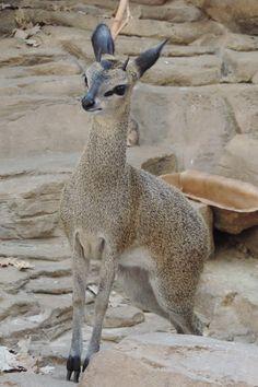 Klipspringer (Oreotragus oreotragus), Eastern and Southern Africa