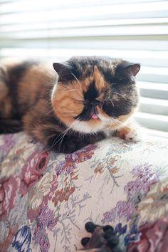Sesame the cat