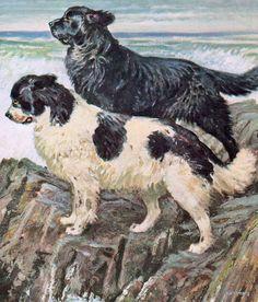 Newfoundland - a Landseerer and a black