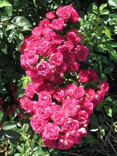 Northern Accent Sigrid Rose.. Zone 4 Hardy