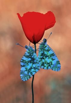 2 butterflies on a red tulip