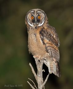 Long-eared Owl (Asio otus) juvenile. Photo by Assaf Gavra.