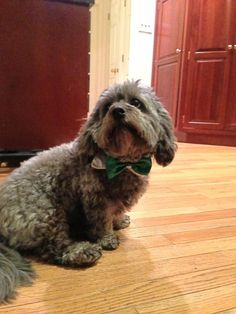 """Ralph is a very dapper pup."""
