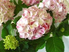 "Hydrangea macrophylla ""Ravel"""