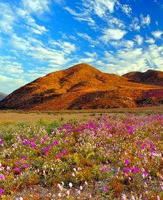 Primavera no Deserto do Atacama - Considerado o mais árido do planeta, o deserto do Atacama, no norte do Chile, é invadido nessa época do ano pelo colorido das flores, apresentando uma paisagem espetacular e inesperada.