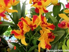 Flower Friday: Yellow Orchids5