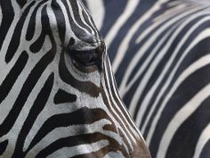 The answer to a question that even puzzled Charles Darwin has finally been answered. Zebras have a striking pattern to confuse predators, according to research published in the journal Zoology.
