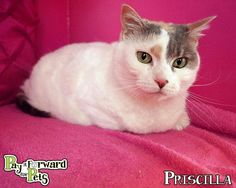 Adopted!! Meet Priscilla, a Petfinder adoptable Domestic Short Hair Cat   Akron, OH   Pretty Priscilla ...Note:  Please keep in mind that all adoptable pets need time to decompress once...