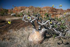 Pachypodium Rosulatum Gracilius. © Inaki Caperochipi Photography