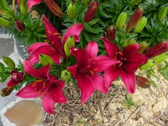 Lily (Lilium 'Tridex') uploaded by Newyorkrita