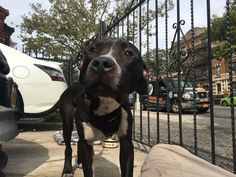 ***URGENT! 10/21/16  FRANKLYN – A1091646  **NOT AT SHELTER – IN ACC FOSTER******FOR MORE INFORMATION CONTACT:accfosters@nycacc.org******SAFER : AVERAGE HOME***  MALE, BLACK / WHITE, AM PIT BULL TER MIX, 4 yrs STRAY – STRAY WAIT, NO HOLD Reason STRAY Intake condition EXAM REQ Intake Date 09/28/2016, From NY 11221, DueOut Date10/01/2016,