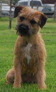 The Border Terrier, the dog for me! They're a perfect size dog, they're not horses and they're not toys, they're very smart (fox hunters) and they're a Scottish breed! So they're perfect! Good doggy!