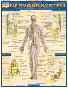 Nervous System. #Psychological #Disorders #hawaiirehab www.hawaiiislandrecovery.com