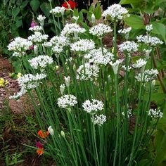Shop for Chive Seeds by the Packet or Pound.Com offers Hundreds of Seed Varieties, Including the Finest and Freshest Chive Seeds Anywhere. We feature Common Chives and Garlic Chives. Chives Plant, Garlic Chives, Garlic Flower, Allium Flowers, Planting Garlic, Growing Herbs, Garden Plants, Herb Gardening, Gardens
