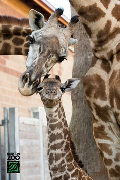 Proud mother Tyra and too-tall-to-fit-in-the-picture father Mtembei with their new born Masai Giraffe male calf born July 14th at the Houston Zoo!