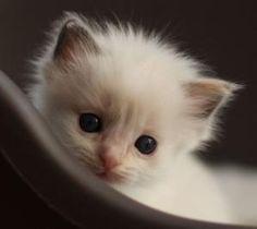 Ragdoll Cats and Kittens | Tz Katz Ragdoll Cats and Kittens: 2011 Desk Calendar!!! by mavis