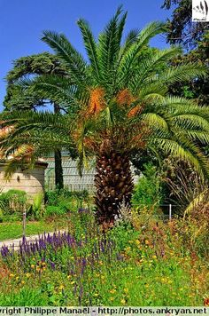 Palmier du jardin des Plantes, Montpellier (France / Languedoc-Roussillon-Midi-Pyrénées / Hérault)