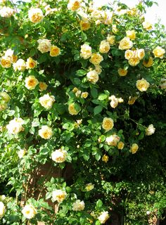 'Teasing Georgia' climbing rose - I think this is what we had in our backyard, but we had to sell our home. It was definitely a David Austin climbing yellow cabbage rose.