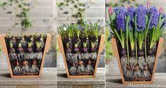 Keď urobíte s cibuľkami v októbri toto, na jar si budú môcť všetci susedia oči vyočiť: Geniálny tip, vďaka ktorému budú kvitnúť dlhšie a nebude im páru!