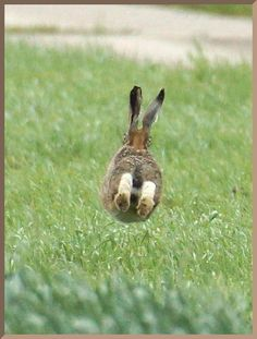 hare by side of farm track bend (discontinuous) 9 of 9 with both eyes visible from the rear