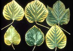 Manganese deficiency symptoms.