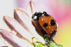 Ladybug by OKAWA somchai