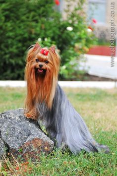 Yorkshire terrier on the stone portrait by Nataly Grase on 500px