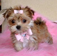 A Morkie puppy (Maltese x Yorkie) - I think I just found my favorite mix! by Mema debe