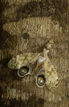 Fulgora Laternaria, also known as the Lantern Fly, has a pattern on its wings that resemble eyes to scare off predators.