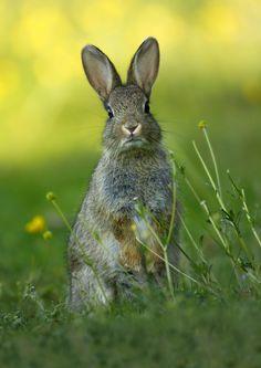 Rabbit in a field of green grass.