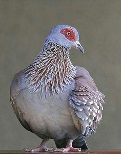 Gespikkelde duif - Speckled Pigeon (Columba guinea) in Tanzania by Hannu Jännes.