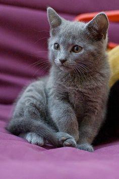 Russian Blue Cats Long Hair Top 5 Most Expensive Cat Breeds Grey Kitten, Grey Cats, Blue Cats, Kittens And Puppies, Cute Cats And Kittens, Kittens Cutest, Kittens Meowing, Beautiful Cats, Animals Beautiful