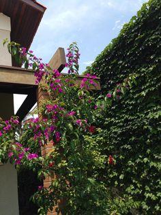 Meu jardim/ eu que plantei tudo/ Bouganville Brasil