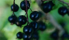 How to plant a blackcurrant bush