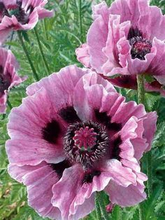 ✯ Poppy 'Manhattan'