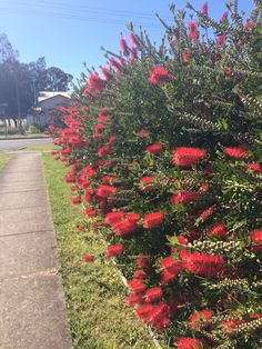 HEDGE Callistemon bottle brush hedge flowering Australian native