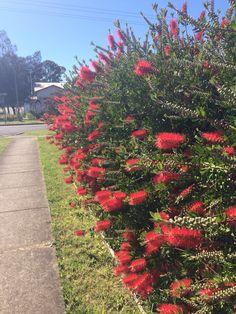 Callistemon bottle brush hedge flowering Australian native