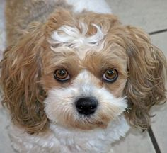 yochon or bichon yorkie. Breed info and Picture Gallery. Which ever way you say it, I say a cutie pie! Cute Puppies, Dogs And Puppies, Pet Dogs, Dog Cat, Dog Breath, English Bulldog Puppies, Mans Best Friend, Dog Pictures, Dog Lovers