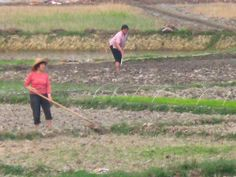 """Working in the rice fields of Xinxing.  This was a block from my """"hotel""""."""