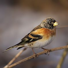 Brambling. The Brambling is a finch whose plumage changes considerably between summer and winter.  In the winter, it has a black head, orange breast, white rump, and its upper parts are mainly black but mingled with orange. At first glance they are very similar to the Chaffinch, which is unfortunate as we are most likely to see Bramblings at wintertime with flocks of Chaffinch, though the white rump of the Brambling is a distinguishing feature.