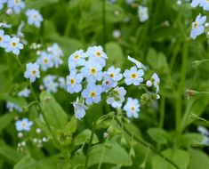Water Forget-Me-Not (Myosotis scorpioides) Type - Pond Marginal Popular with pollinators, this pond marginal plant produces masses of blue flowers from May to September. Pond Plants Uk, Water Plants For Ponds, Garden Plants, Water Pond, Garden Pond, Fast Flowers, Types Of Flowers, Types Of Plants, Colorful Flowers