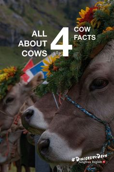 Check it out! Everything you need to know about cows in the Jungfrau Region! 🐄🐮🤠 ⠀⠀⠀⠀⠀ #cows #animals #moutntains #swissmountains #inLovewithSwitzerland #jungfrauregion #madeinbern Cow Facts, Alpine Meadow, The Godfather, Four Legged, Cows, Cover Photos, Farm Animals, Social Media, Check