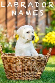 Labrador Names: Hundreds of Great Ideas to Help You Name Your Dog Labrador Names, Fox Red Labrador, Labrador Retriever, Cute Dogs And Puppies, Dog Names, Mom And Dad, Dog Love, Dog Training, Your Dog