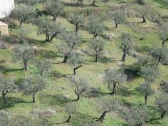 Olivi in Valle del Calore, Campania