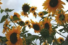 Sunflowers in Marche