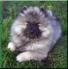 Keeshond puppy from the Mt. Hood Keeshond Club.