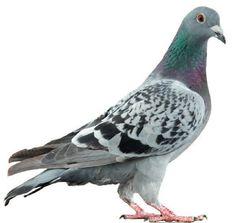 Peut-on se réconcilier avec nos Pigeons? Il le faut, disent les chercheurs. Pour avoir des villes bien vivantes. Lire l'article entier sur http://www.velo.qc.ca/magazines/articles/09c126ad8aa341452f2b7e21214b38f8.pdf