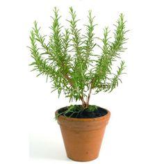 Rosemary plant - inside